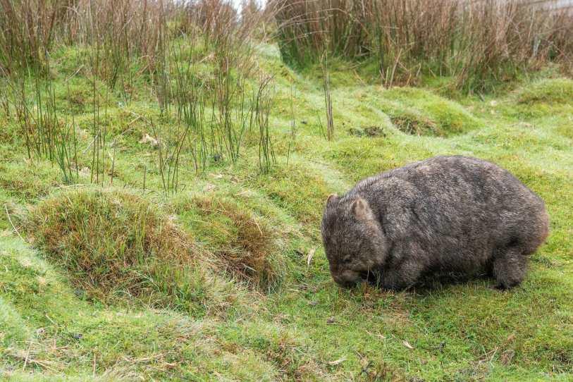 Wombat at Bendeela