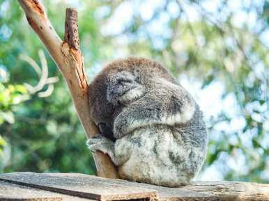 Koala Hospital in Port Macquarie