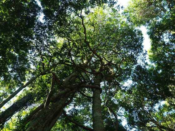 Surrounded by giants in Dorrigo Rainforest