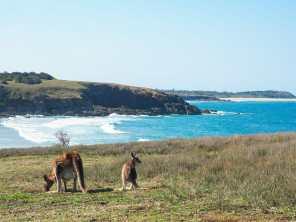 Mum and joey kangaroos at Look At Me Now Headland
