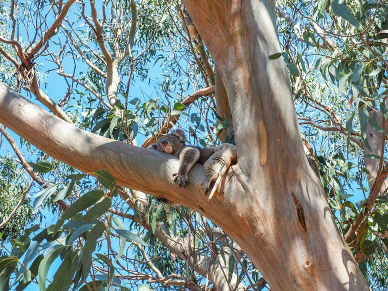 Koalas everywhere on Kangaroo Island