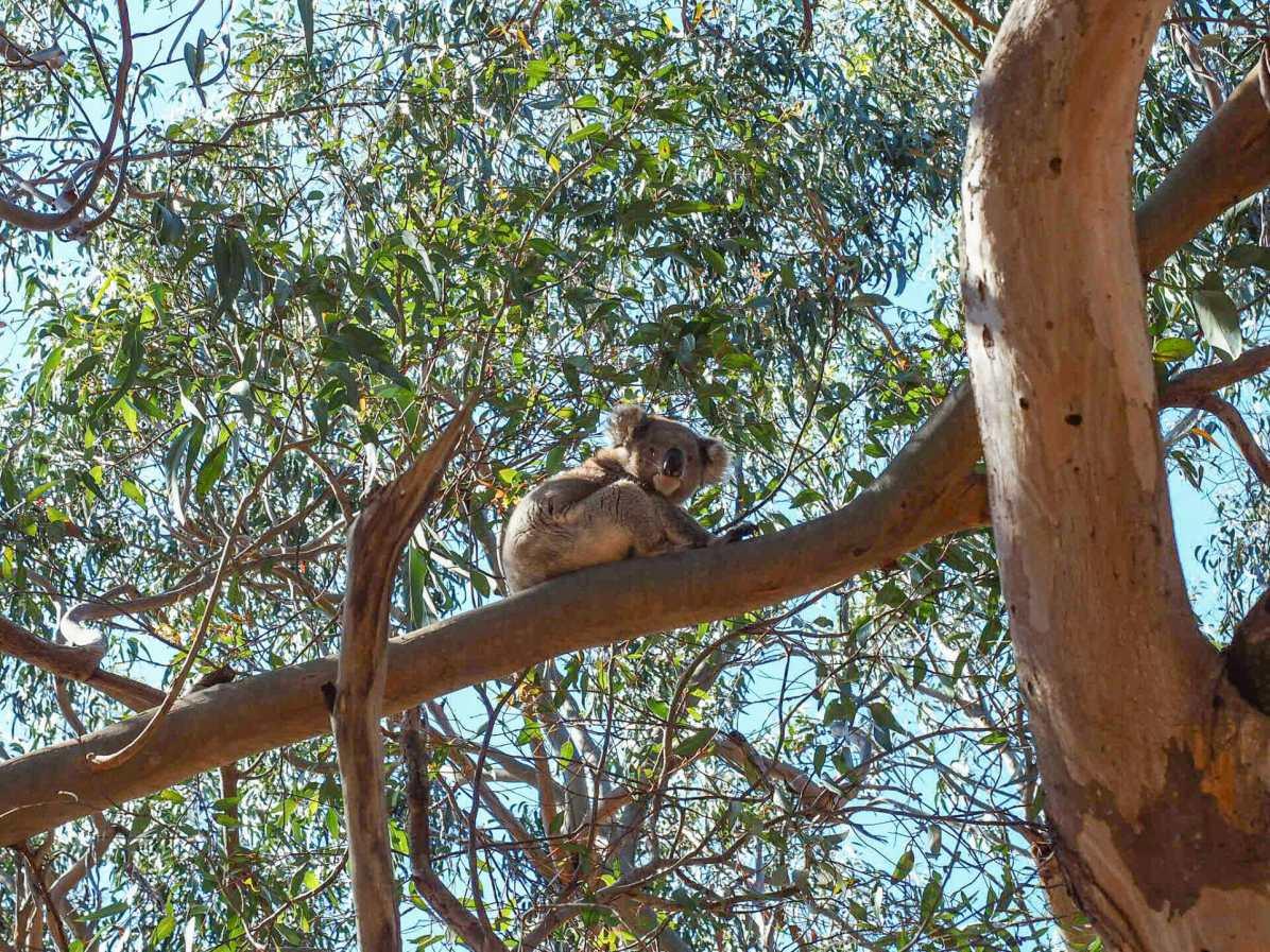 Booming koala population on Kangaroo Island