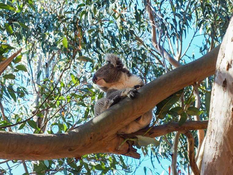 Koala-spotting at Hanson Bay