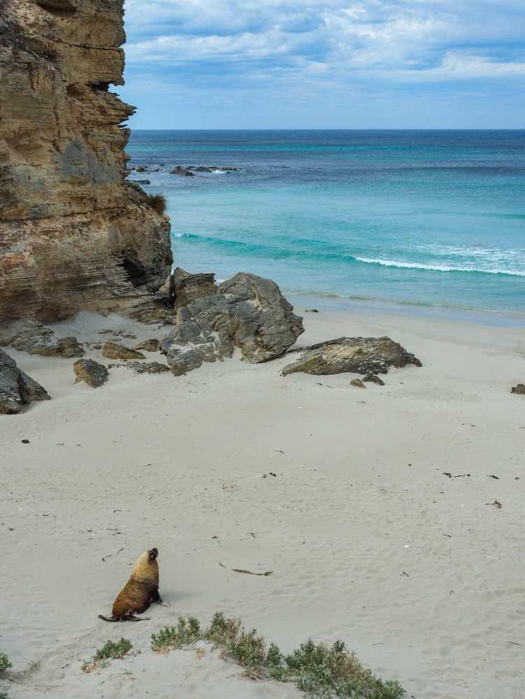 Big papa seal waddling back down to the sea