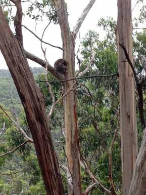 Sweet little koala just outside of Lorne