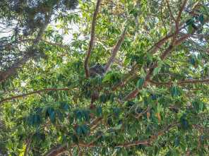 Koala camouflaged in the trees above