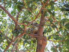 Sleepy koala in Amity Point