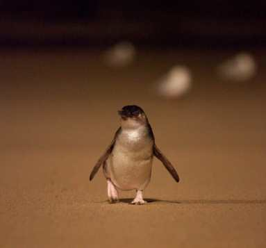 Little Penguin waddling up the beach