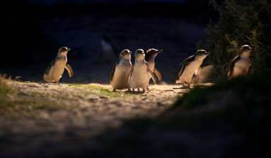 Penguins headed to their burrows