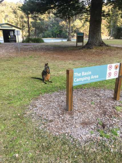 Wallabies greeting us upon arrival