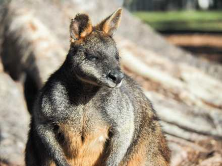 Friendly wallabies hanging out at The Basin