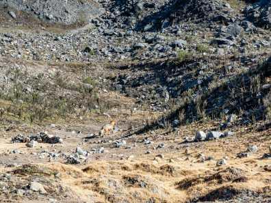 Arctic fox at camp