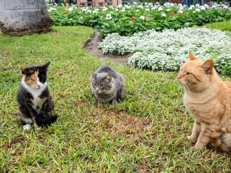 Some of the resident cats at Parque Kennedy in Miraflores