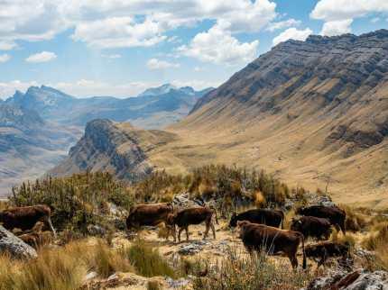Cows at 4,500m