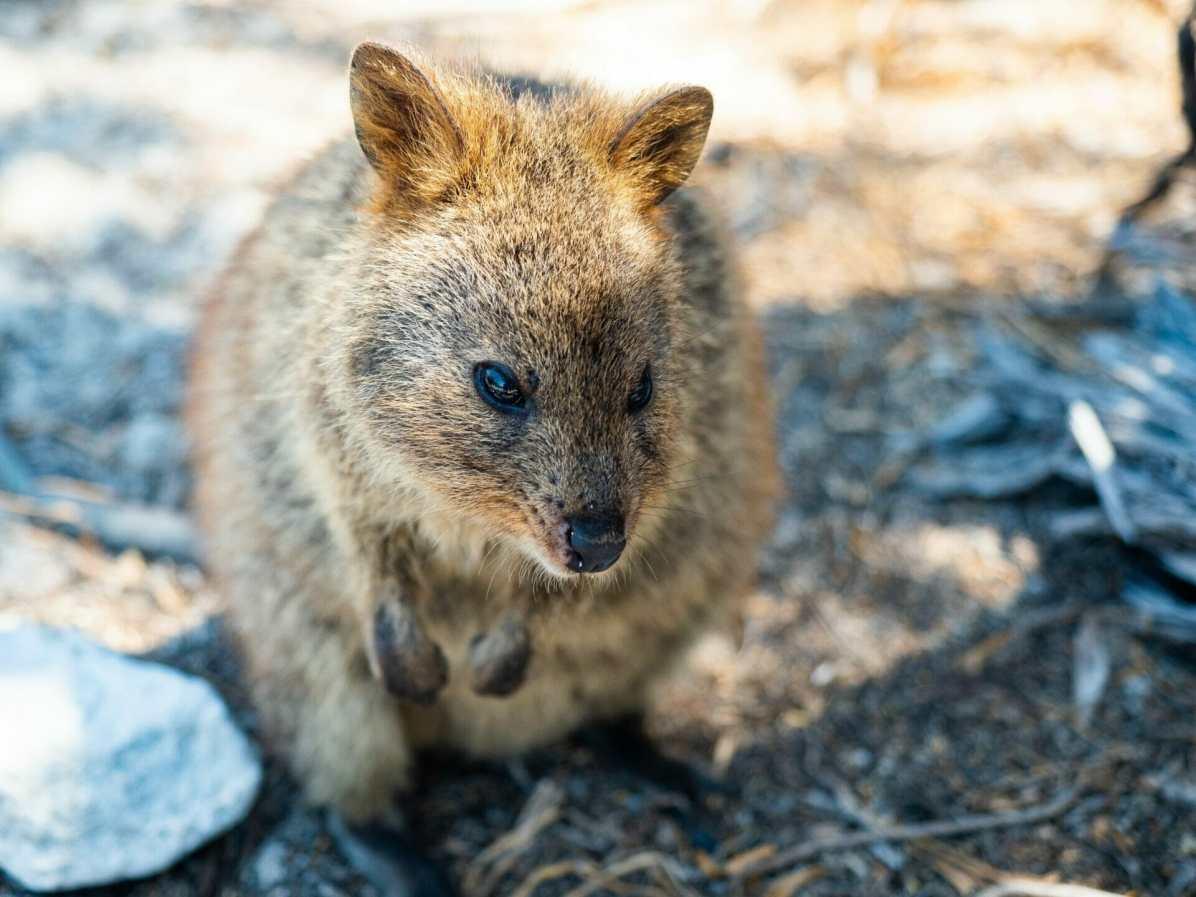 Quokka Rottnest Island Perth Western Australia