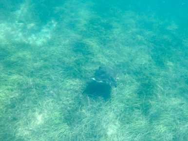 Stingray under Busselton Jetty Western Australia