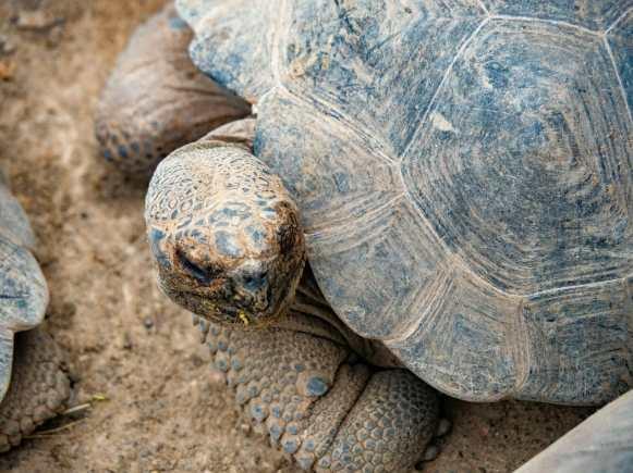 Galápagos tortoise at breeding centre on Isla Isabela
