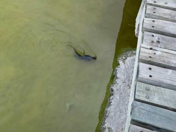Marine iguana swimming through green lagoon Isla Isabela