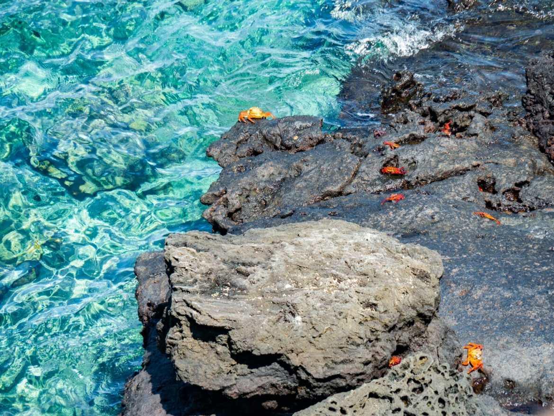 Red Sally Lightfoot Crabs on Isla Bartolomé blue water