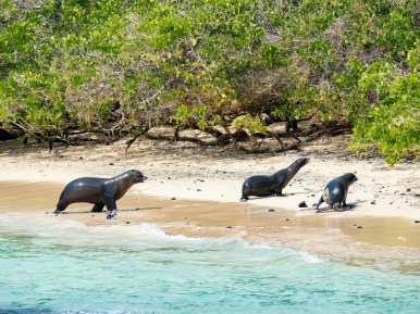 Family of Galápagos Sea Lions walking on beach