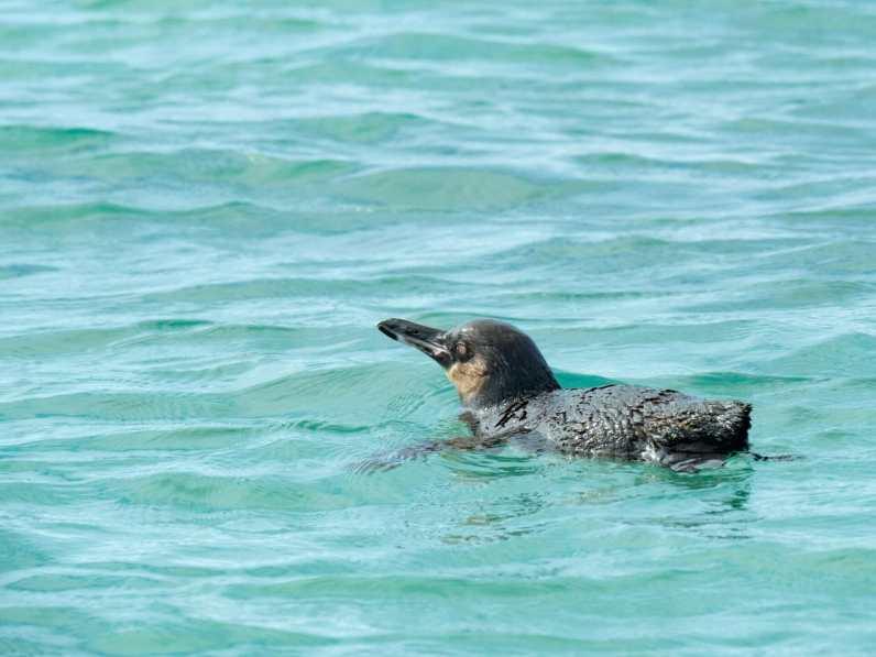 Little Galápagos Penguin