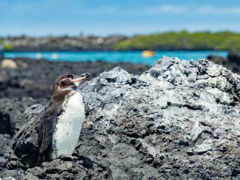 Galápagos penguin on rocks at Las Tintoreras