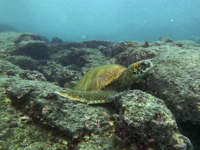 Sea turtle resting on rock underwater Galápagos