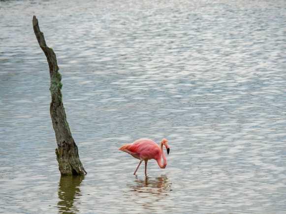 Pink flamingo walking in water at Pozas Salinas