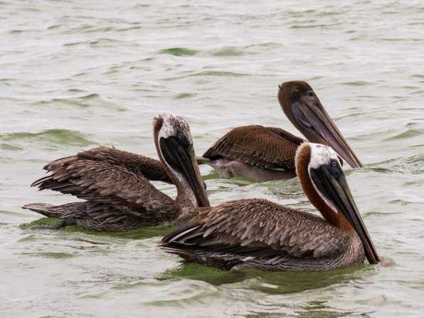 Pelicans at Mirador Los Tunos Galápagos