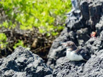 Galápagos Penguin on Isla Isabela