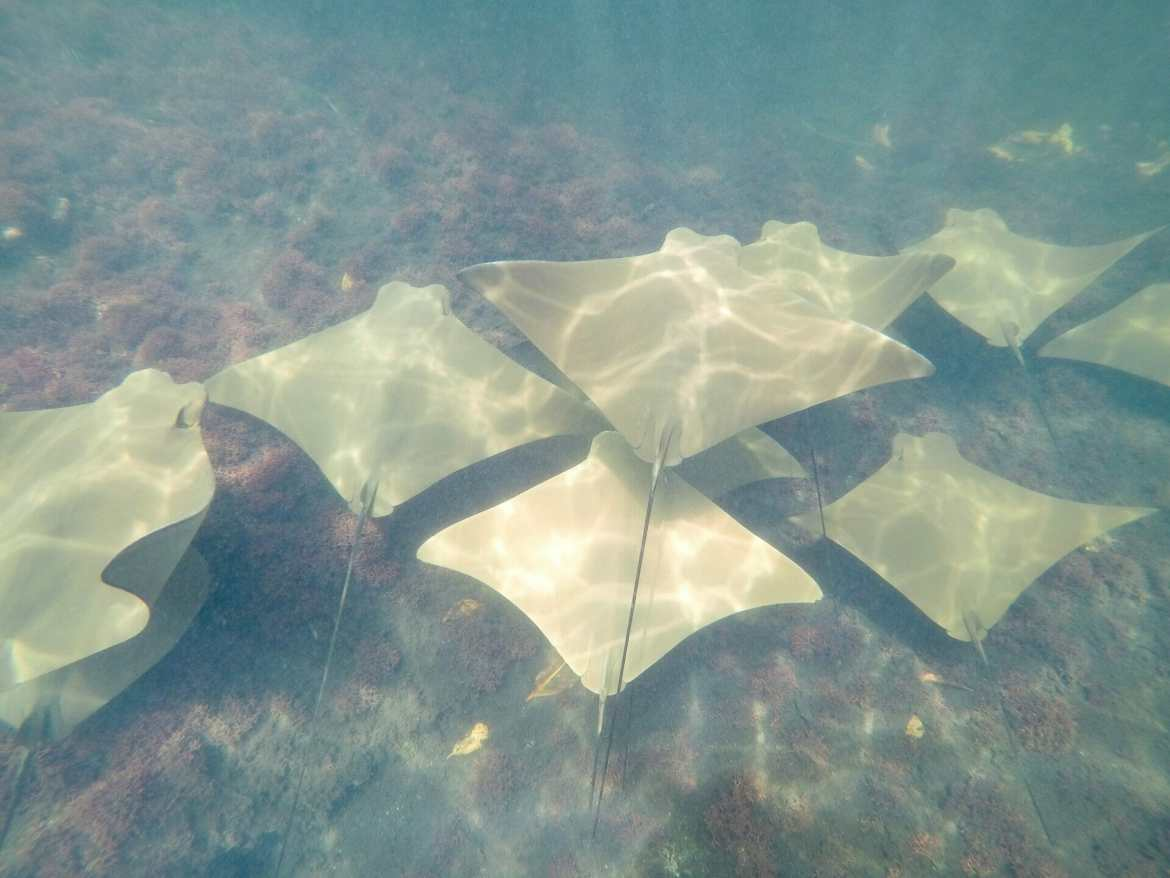 Snorkelling with golden rays at Los Tuneles Galápagos