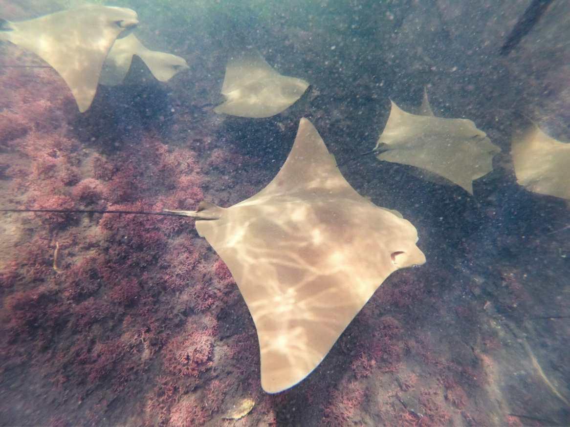 Golden rays swimming underwater Galápagos