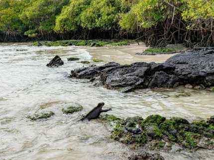 Marine iguana swimming in ocean Galápagos