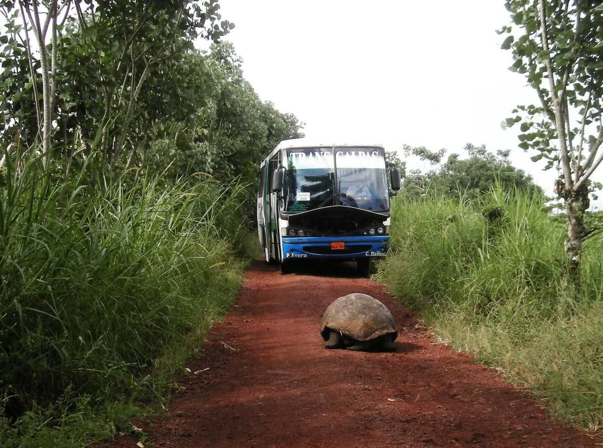 Galápagos tortoise on road in front of bus