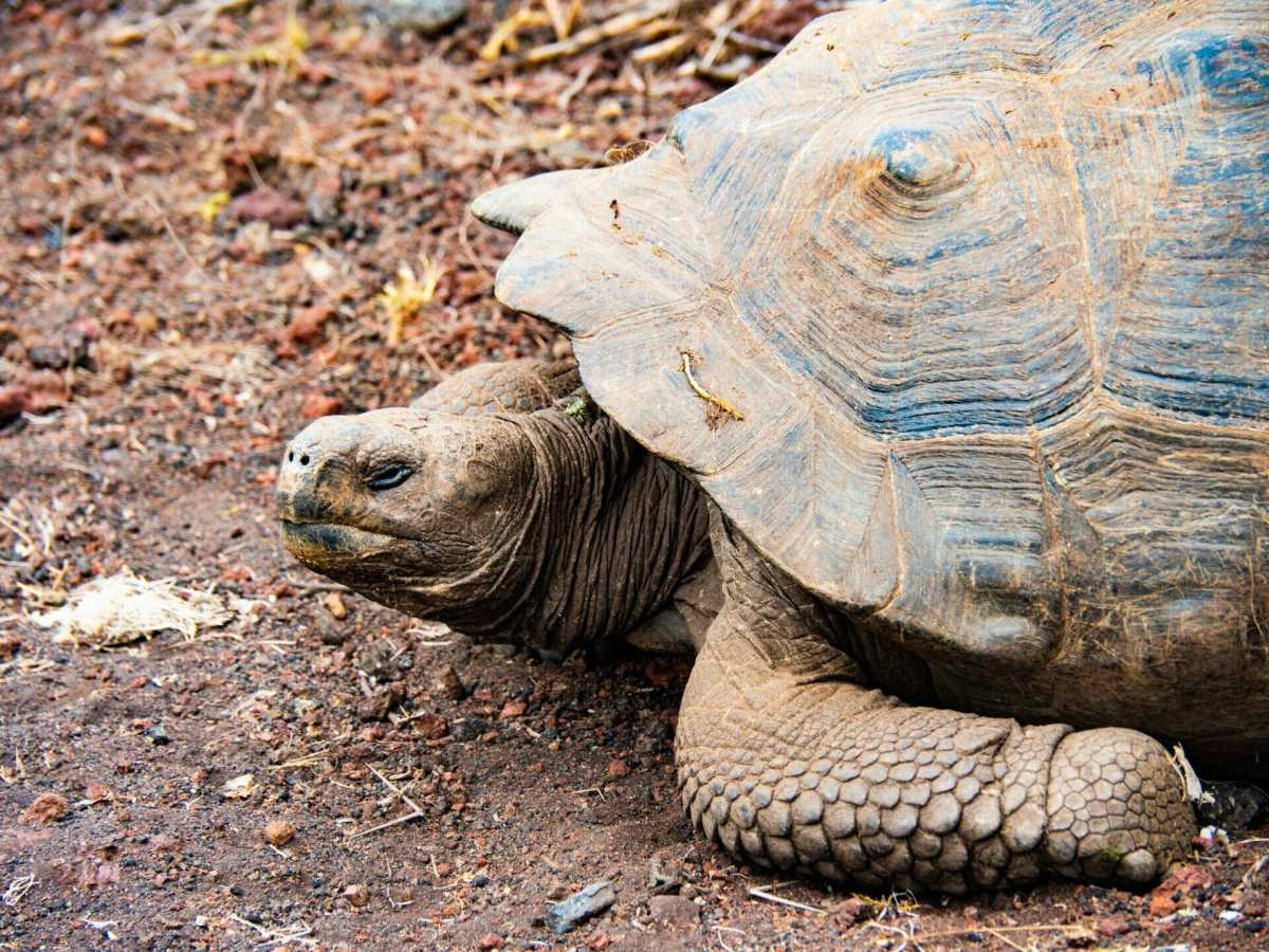 Galápagos tortoise on Isla Isabela