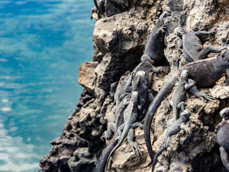 Marine iguanas on volcanic rock over water at Las Tintoreras
