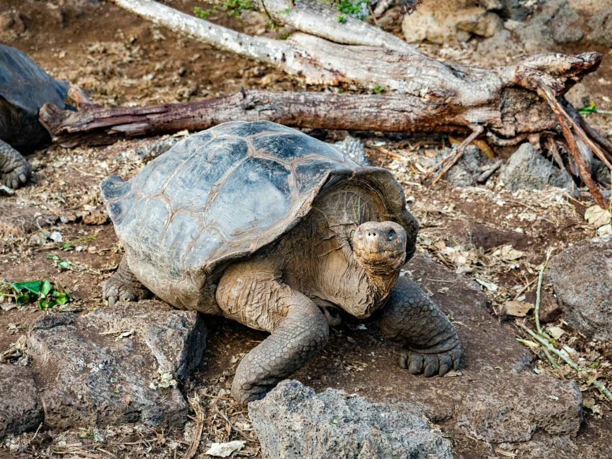 Galápagos tortoise looking at camera