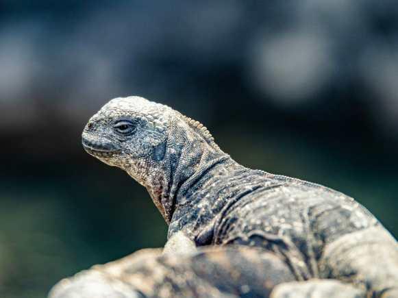 portrait of Lizard in the Galápagos