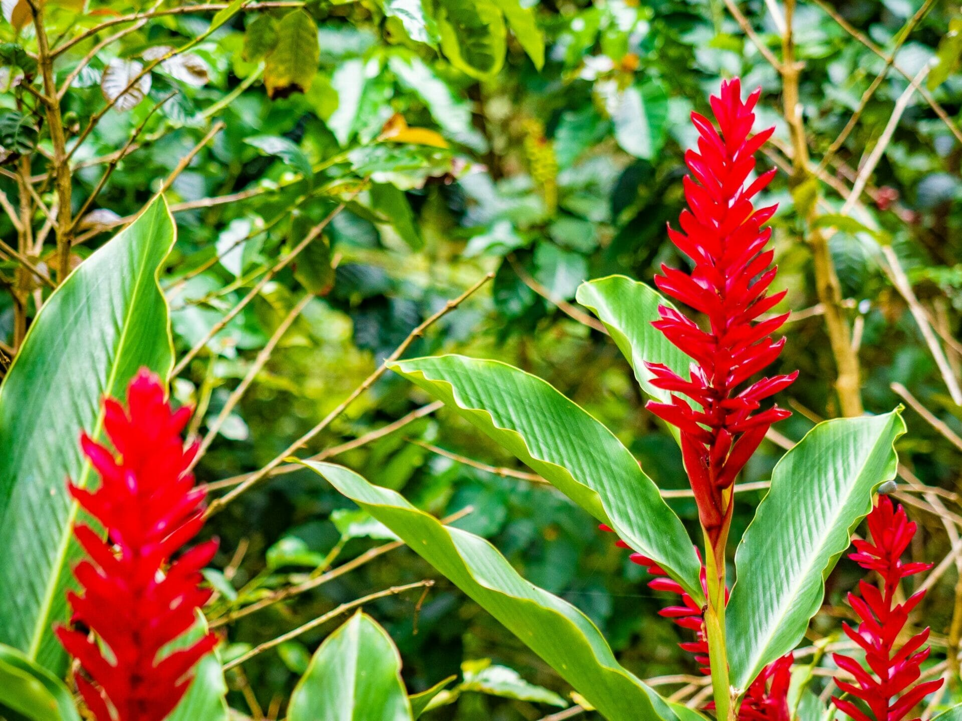 red wildflower Cascada Marinka jungle Minca Colombia