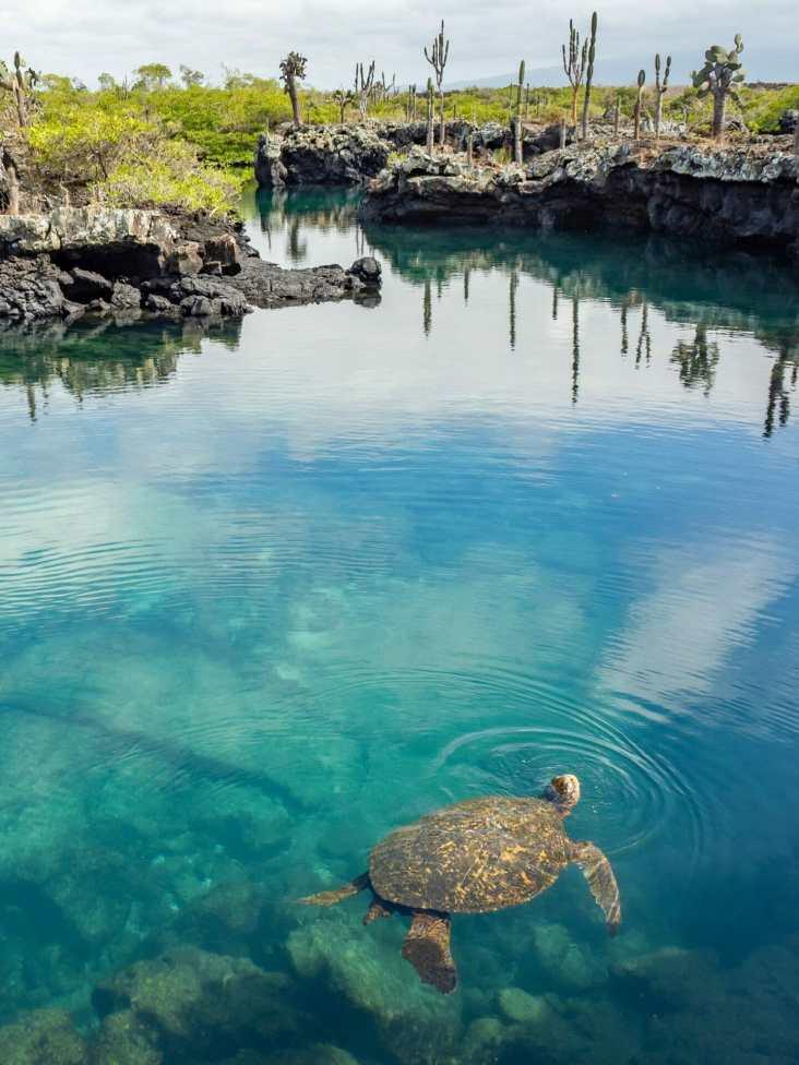 Turtle swimming under lava tunnels Isla Isabela