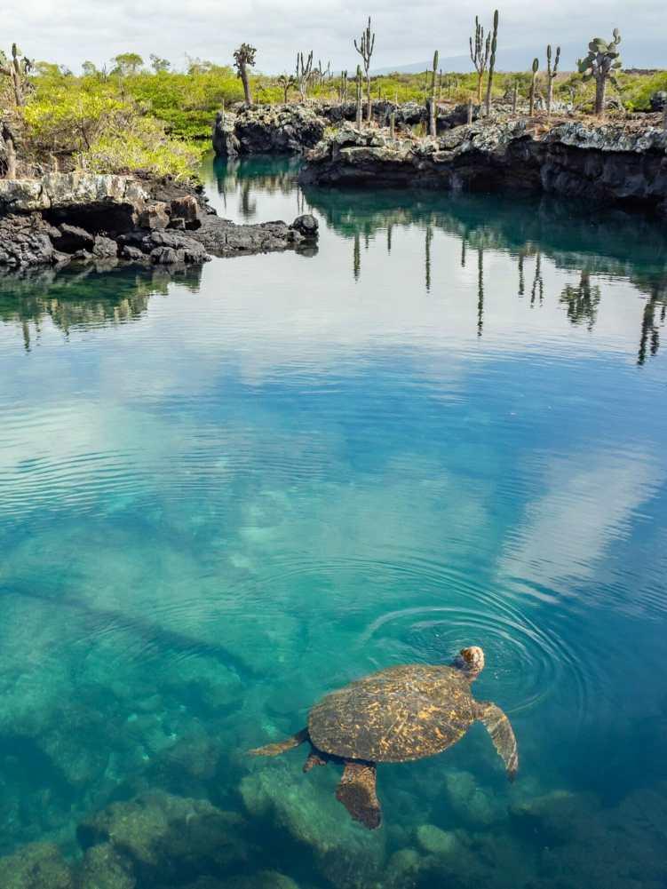 Turtles snorkelling in Los Tuneles