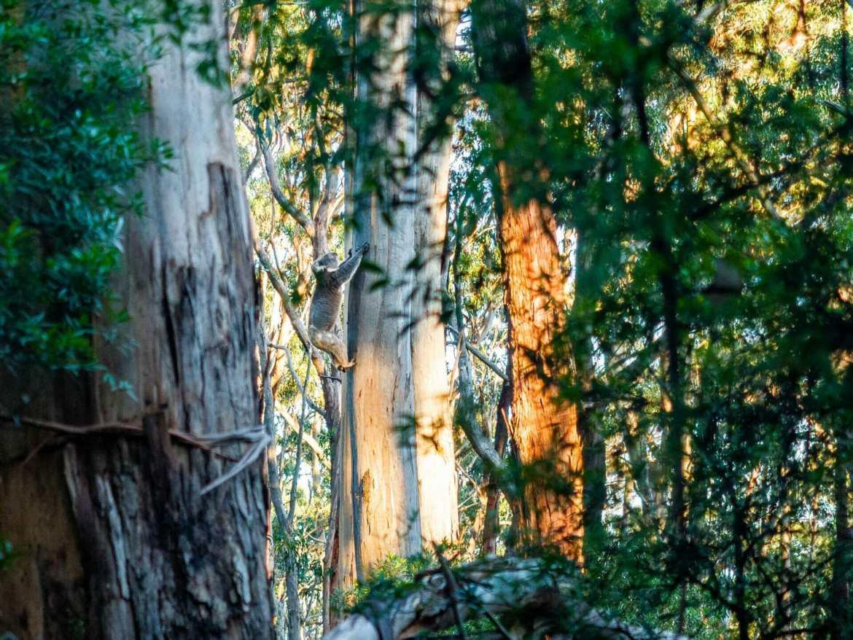 Great Ocean Walk Elliot Ridge wild koala in tree