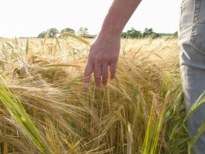 Woman walking through barley field