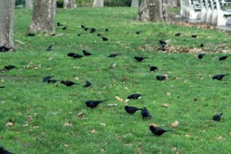 Common Grackles in Cadman Plaza Park 12/04/2006 - Brooklyn Archive