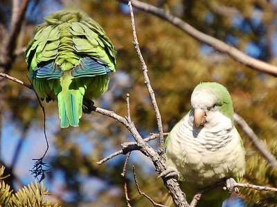Wild Parrots in Midwood