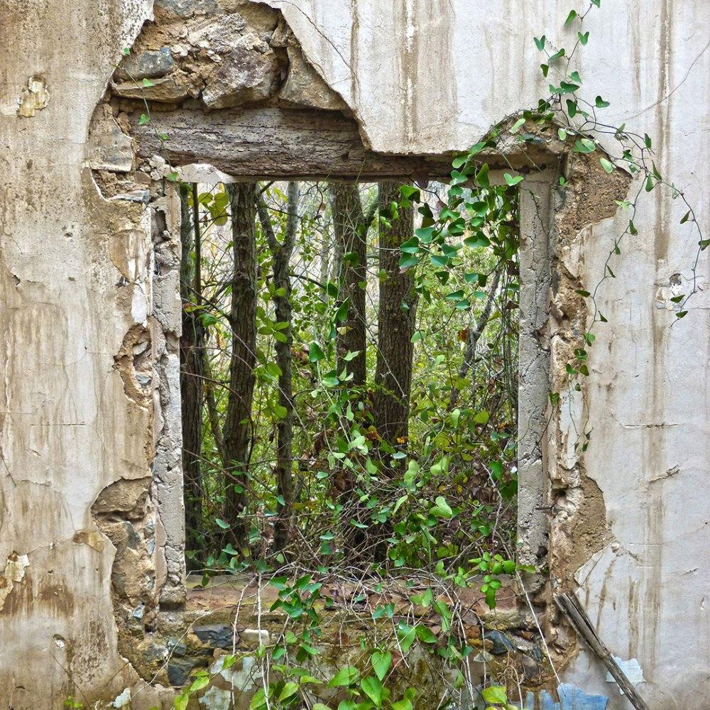 vine growing in a ruin