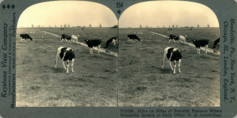 A stereoview of a number of cows standing in a field somewhere in The Netherlands, with windmills in the far distance.