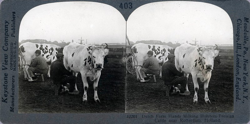 Dutch Farm Hands Milking Holstein-Freisian Cattle near Rotterdam, Holland.