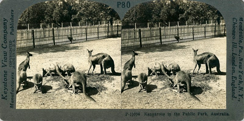 Kangaroos in the Public Park, Australia.