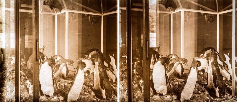 An image depicting a number of taxidermic penguins in a glass enclosure, Grande Galerie de l'Évolution, Paris.